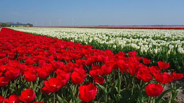 bollenveld tulp bloem