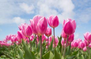 tulp roze bloem