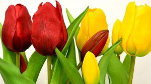 tulp geel en rood