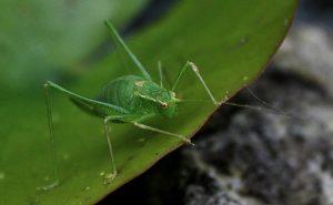 sprinkhaan groen dier insect