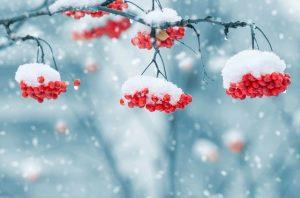 winter sneeuw bessen