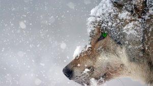 winter wolf sneeuw