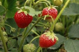 aardbei plant fruit