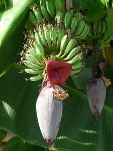 bananen bloem boom tros fruit