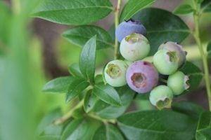 blauwe bes fruit
