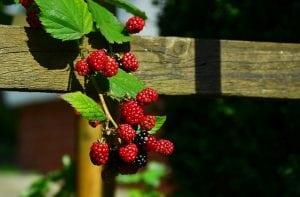 fruit braam
