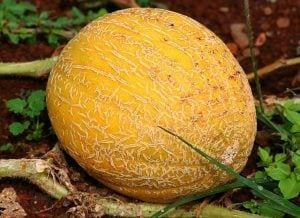 cantaloupe meloen fruit