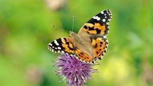 distelvlinder vlinder