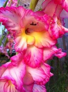 gladiool roze bloem