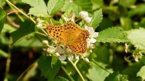 keizersmantel vlinder