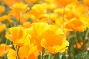 klaproos geel bloem