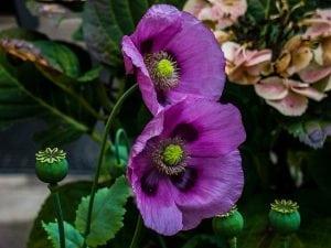 klaproos paars bloem