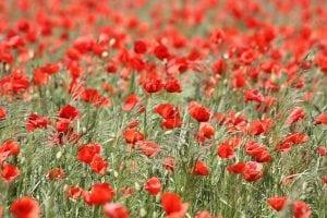 klaproos rood bloem