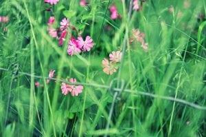 koekoeksbloem bloem