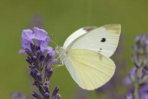 koolwitje vlinder wit