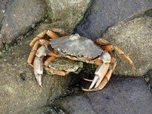 noordzeekrab krab