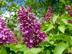 paars sering bloem
