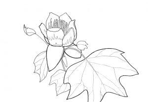 tulp kleurplaat bloem