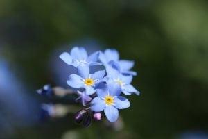 vergeet me niet blauw bloem