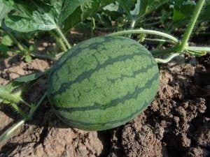watermeloen fruit