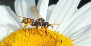 wespenbij insect