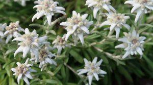 edelweiss bloemen