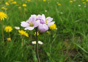 pinksterbloem bloem gras