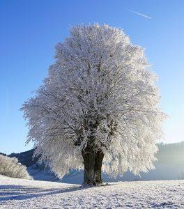 boom sneeuw winter