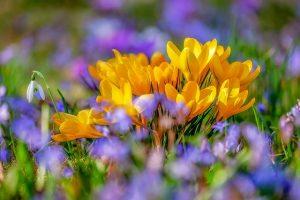 crocus lente bloem