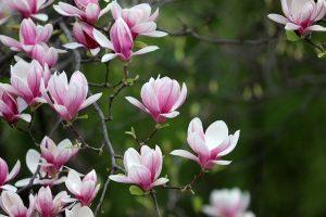 magnolia bloem boom lente