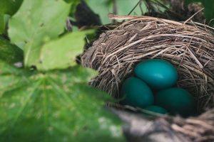 nest vogel ei