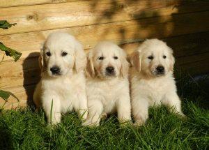 puppies hond jong