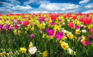 tulpenveld lente tulp