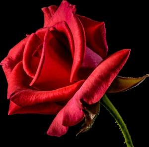 rood roos